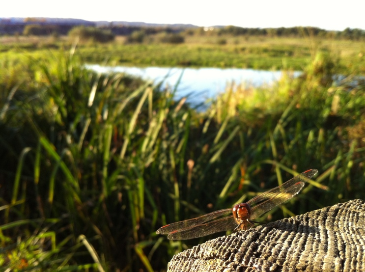 dragonfly on The Moors (Tim Dawes)